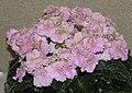 非洲紫羅蘭 Saintpaulia Optimara Ever Harmony -香港沙田紫羅蘭展 Shatin African Violet Show, Hong Kong- (9193445150).jpg