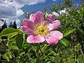 香葉薔薇 Rosa rubiginosa -波蘭華沙 Powsin PAN Botanical Garden, Warsaw- (36457239722).jpg