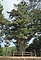 합천 해인사 학사대 전나무.jpg