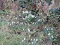 -2021-02-24 Snowdrops, Middle Street, Trimingham.JPG
