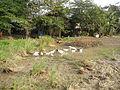 0006jfLandscapes Ducks Grass Roads Maronquillo San Rafael Bulacanfvf 11.JPG
