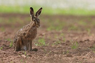 European hare - Photograph of a hare on farmland