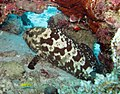 0707GBR 95 queensland grouper with bended fin M (3745365949).jpg