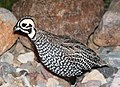 072 - MONTEZUMA QUAIL (8-20-2014) 78 circulo montana, patagonia lake ranch estates, scc, az -01 (14805362757).jpg