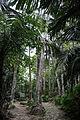 110321 Native forest of Satake palm trees Yonehara Ishigaki Island Japan05n.jpg