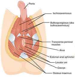 1116 Muscle of the Male Perineum.png