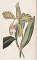 1 Cattleya granulosa.jpg