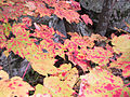 20011020ft-mtn1-maple-lvs (6186063375).jpg