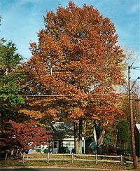 2002-10 Pin Oak (Quercus palustris) during Autumn along Terrace Boulevard in Ewing, New Jersey.jpg
