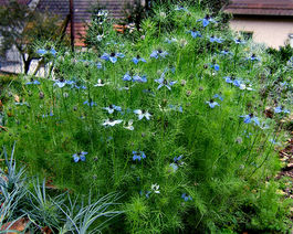 2007-10-25Nigella damascena 12.jpg