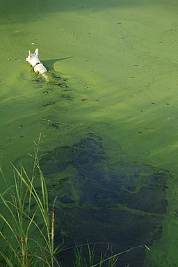 2008-08-22 White German Shepherd swimming in algae