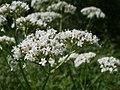20120629Valeriana officinalis1.jpg