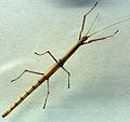 2013-03-09 Indische Stabschrecke carausius morosus anagoria.JPG