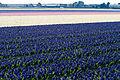 20130428-springflowers-02 (8691028235).jpg