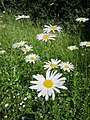 20130608Leucanthemum vulgare1.jpg