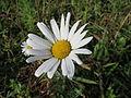 20131013Leucanthemum vulgare.jpg