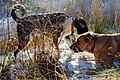 2014-365-315 Dogs Will Be Dogs (15585648477).jpg