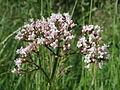 20140519Valeriana officinalis.jpg