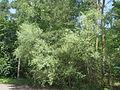 20140607Elaeagnus angustifolia1.jpg