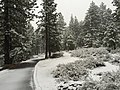 2015-11-02 07 30 24 View east through snow-covered Pine trees along the Truckee River Legacy Trail during a snowstorm at Truckee River Regional Park in Truckee, California.jpg