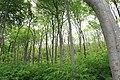 2017-05-25 Nienhagen Gespensterwald 04.jpg