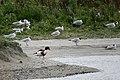 2017-07 Réserve naturelle nationale de la baie de Somme - Tadorne de Belon.jpg