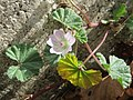 20170916Malva neglecta2.jpg