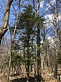 2018-04-28 13 30 04 Balsam Fir along the Upper Hawksbill Trail within Shenandoah National Park, Madison County, Virginia.jpg