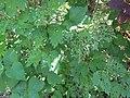 2018-05-13 (175) Damaged leaves at Bichlhäusl in Frankenfels, Austria.jpg