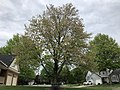 2019-04-25 09 30 09 A Red Maple heavily laden with mature seeds along Ladybank Lane in the Chantilly Highlands section of Oak Hill, Fairfax County, Virginia.jpg