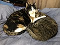2020-02-16 14 14 09 A Tabby cat and a Calico cat cuddling on a bed in the Franklin Farm section of Oak Hill, Fairfax County, Virginia.jpg
