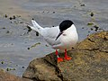 2020-07-18 Sterna dougallii, St Marys Island, Northumberland 14.jpg