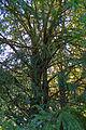 2 Eiben in Hirschenwies Rückansicht 2014-09 NÖ-Naturdenkmal GD-141.jpg