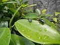 4733Common houseflies in Philippines 34.jpg