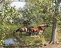 5627 - Mustangs.jpg