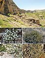 A-type-locality-of-Galium-shinasii--Marlstone-rocky-cliffs-in-Levent-Canyon-BC-Galium-incanum-subsp.jpg