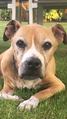 AMERICAN STAFFORDSHIRE TERRIER SUNDY 17 ANS.png
