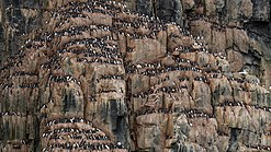 A Colony of Brünnich's guillemot (Uria lomvia) at Alkefjellet, Svalbard.jpg