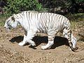 A Leucistic Bengal Tiger at Nehru Zoological Park.jpg