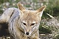 A fox at Torres del Paine National Park in Chile. Original from NASA. Digitally enhanced by rawpixel. (46300670392).jpg