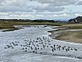 A gaggle of geese on the Ogmore River (geograph 6615199).jpg