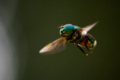 A hoverfly in mid flight. Puerto Rico.png