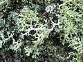 A lichen - Evernia prunastri - geograph.org.uk - 1073663.jpg