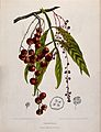 A species of the genus Lepisanthes; fruiting and flowering b Wellcome V0042700.jpg