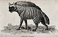 A striped hyena. Etching by J. Le Keux. Wellcome V0020726.jpg