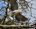 A wood pigeon in flight at City of London Cemetery and Crematorium.jpg