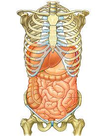Anatomia dell'addome umano