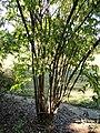 Abelia mosanensis - J. C. Raulston Arboretum - DSC06202.JPG