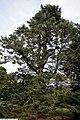 Abies concolor 4zz.jpg
