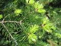 Abies holophylla 03.jpg